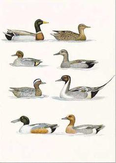 http://birds.nu/kort/and1.jpg