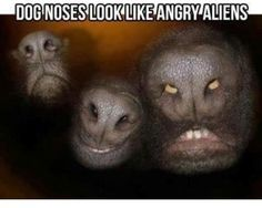 Dog noses look like angry aliens. I have no idea why this makes me laugh so hard. Haha It makes me laugh hysterically Judi! Scary Dogs, Funny Dogs, Funny Animals, Animal Memes, Cutest Animals, Haha Funny, Funny Cute, Funny Memes, Funny Stuff