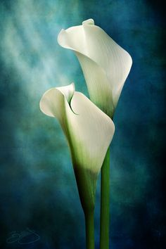 ~~The Dance | Calla Lilies by Billie Jo Moscherosch~~