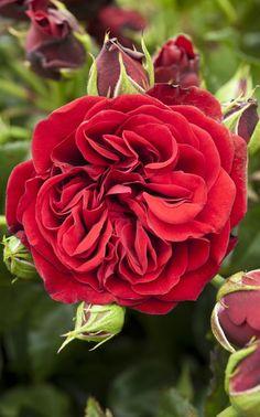 Climbing Rose 'Cumberland'