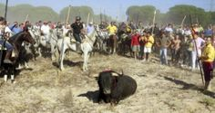 "Twenty bulls have been ""liberated"" from the town of Tordesillas in northern Spain on the eve of a controversial festival in which the whole town hunts down a single animal with spears. The animals went missing on Saturday night hours before they were due to take part in the notorious Toro de la Vega festival. […]"