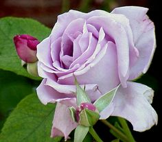 My perfect rose!!! :-)