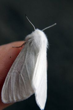 little white moth Rei Ayanami, Cute Moth, Papillon Butterfly, Moth Wings, Bugs And Insects, Albino, Belleza Natural, Little White, Beautiful Creatures