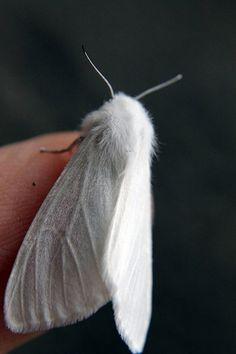 Pale white moths