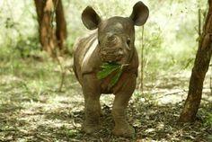 Baby Rhino, We need to protect these beautiful animals from extinction. #Green #SaveTheRhino