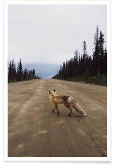 Road Fox als Premium Poster von Kevin Russ   JUNIQE