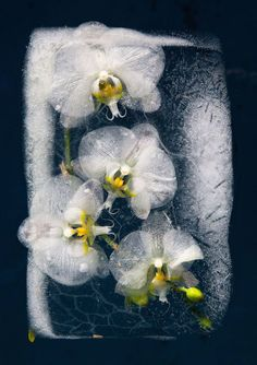 Photos of Frozen Flowers Capture the Paradoxical Beauty of Preservation and Destruction
