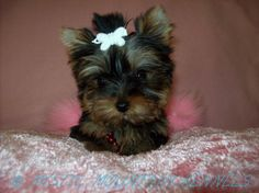 puppies for sale Teacup Tiny Yorkies Imperial Shih Tzu