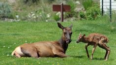 A female elk with her newborn calf in Yellowstone National Park. (Flickr/jerseygal2009)