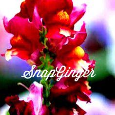 SnapGinger Blog- http://snapginger.com