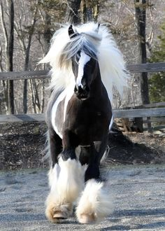 Angel wings upon the Gypsy Vanner Horse with a clever and spectacular gait.  Gorgeous mane, tremendous stockings of purity, simply moving along with great grace.
