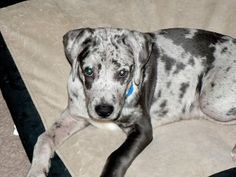 Jasper-Adoption Pending is an adoptable Great Dane Dog in Powell, OH. Jasper is a 14 week blue merle great dane puppy and currently weighs 29lbs. This lovable pup would love someone who knows he will ...