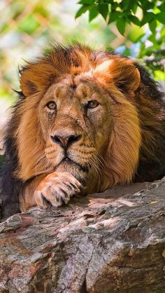 leo the lion Beautiful Cats, Animals Beautiful, Wild Animal Wallpaper, Animals And Pets, Cute Animals, Wild Animals, Nature Animals, Grand Chat, Majestic Animals