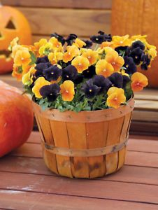 trick-or-treat pansies