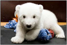 Polar bear cuteness! :D