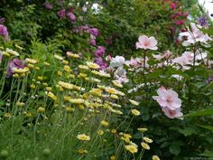 'Sweet Pretty' Rose Photo