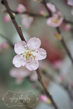 Does it not make you smile??     almond_blossom2
