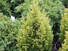 Chamaecyparis lawsoniana 'Nicole'