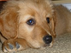 You can't resist my puppy dog eyes. #Penny #Puppy