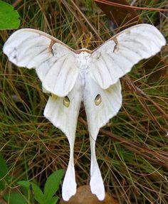 Rare Albino Luna moth
