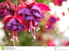 Blue Bleeding Heart Plant | Displaying 17> Images For - Purple Bleeding Heart Flower...