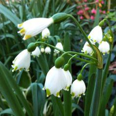 Bell flower flowers fleurs flores pinterest flower flowers little white bell flowers mightylinksfo