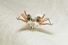 La polilla que quiere ser araña, Siamusotima aranea Esta especie, descubierta en el año 2005 en Tailandia, es otro sorprendente ejemplo de mimetismo animal.