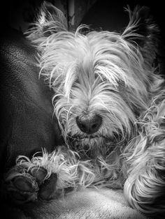 dook | by lledsrow Wheaten Terrier, Cairn Terriers, I Love Dogs, All Dogs, Best Dogs, Dogs And Puppies, Doggies, Westies, White Dogs