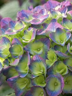 Hydrangea 'Cityline Rio' - Fascinating colours emerge green and then transition to a blue or purple depending on pH of the soil.  Zones 5-9
