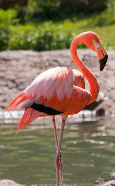 Como Zoo Flamingo by Farzad Sadjadi Flamingo Photo, Flamingo Bird, Pink Bird, Pink Flamingos Birds, Flamingo Painting, Pretty Birds, Beautiful Birds, Animals Beautiful, Inspiration Tattoos