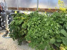 HUGE PLANTS! GROW VERTICAL! 42 PLANTS IN 4 SQ FT! Art garden growing systems! artgardenllc@gmail.com
