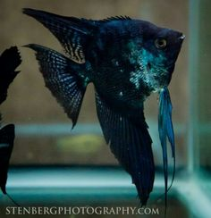 Blue Marble/Paraiba (?) Angelfish