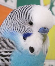 los periquitos australianos azules son bonitos y son lo que mas encojen  como mascota