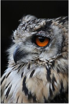 INDIAN EAGLE OWL by jill lamb 53 OUT ALL MORNING, via Flickr
