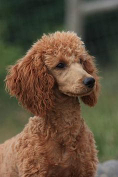 Ruebin, red miniature poodle - the kind of dog who convinces me that poodles are OK...