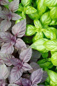 Red Ruben and Big Leaf Basil | Foodal.com