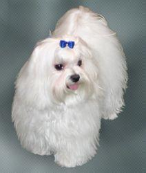 Maltezer Vereniging Belgie.jpg. Common nicknames, Maltese lion dog