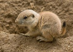 Prairie Dog baby