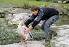 Nov. 12, 2013: A pink-backed pelican is caught by a zookeeper at Zoom Erlebniswelt in Gelsenkirchen, Germany, on Nov. 12. The six pelicans are supposed to spend the winter in a warm stable.