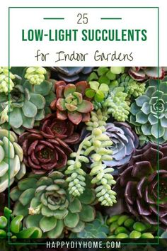 When people think of succulents, they usually think of tiny plants that sit in terrariums and need a lot of sunshine and light to grow and thrive. However, did you know that there are plenty of beautiful low-light succulents available? These plants will grow very well in dim conditions, and some can even handle more moisture than others can. Low Light Succulents, Types Of Succulents, Colorful Succulents, Growing Succulents, Succulents In Containers, Planting Succulents, Planting Flowers, Flowering Plants, Indoor Plants