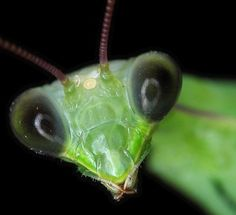 A praying mantis has 5 eyes (3 on top, between the antenae - and the 2 large ones on the side) ... 5 eyes to watch your every move with..... Stares into your soul...