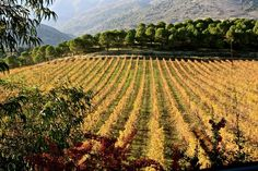 Vitis vinifera evidence from ancient Rome shows wine was cultivated and then domesticated in Lebanon, at least two thousand years before Alexander the Great.