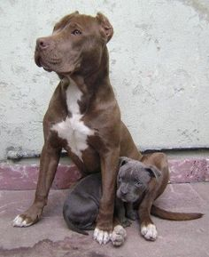 pitbull mama & pup