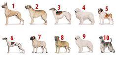 Maiores cães do mundo. Cão dos Pirineus em 4º lugar. Great Pyrenees Dog, Labrador Retriever, Google, Worlds Largest Dog, Guy Best Friend, Diy Dog, Search, Labrador Retrievers, Labrador