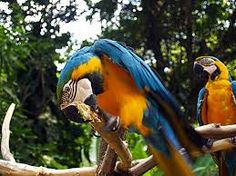 Blue-and-yellow Macaw - Macaw Mountain Bird Park - Copan Ruinas, Honduras Central America, South America, Bright Side Of Life, T Baby, Tropical Birds, West Indies, Island Life, Beautiful Birds, Vacation Spots