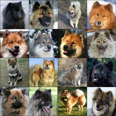 all eurasiers. they have many coat colors