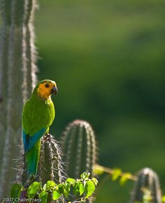 Parrot on cactus.