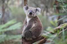 39. Koalas= Human Genome. It seems that koalas can't stand us at all. These furry animals can become stressed by noisy and up-close encounters with humans. Using cultural anthropology we can try to find as to why these animals cant stand us.