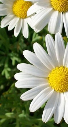 Daisies, they are the friendliest flower. :)