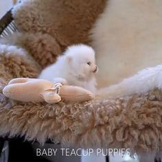 Teacup Pomeranian Puppy, Teacup Dogs, Cute Teacup Puppies, Cute Puppies, Baby Exotic Animals, Cute Little Animals, Cute Puppy Videos, Cute Animal Videos, Teacup Animals